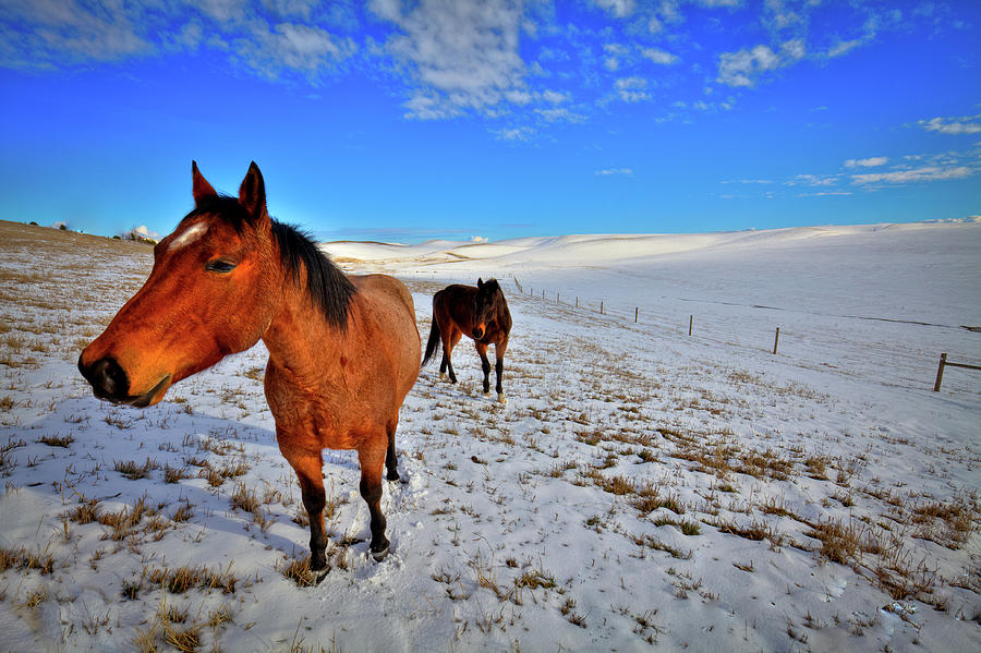 Geldings in the Snow by David Patterson