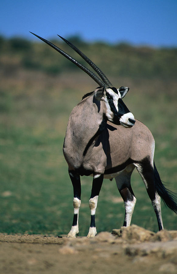 Gemsbok Or South African Oryx Photograph by Lonely Planet