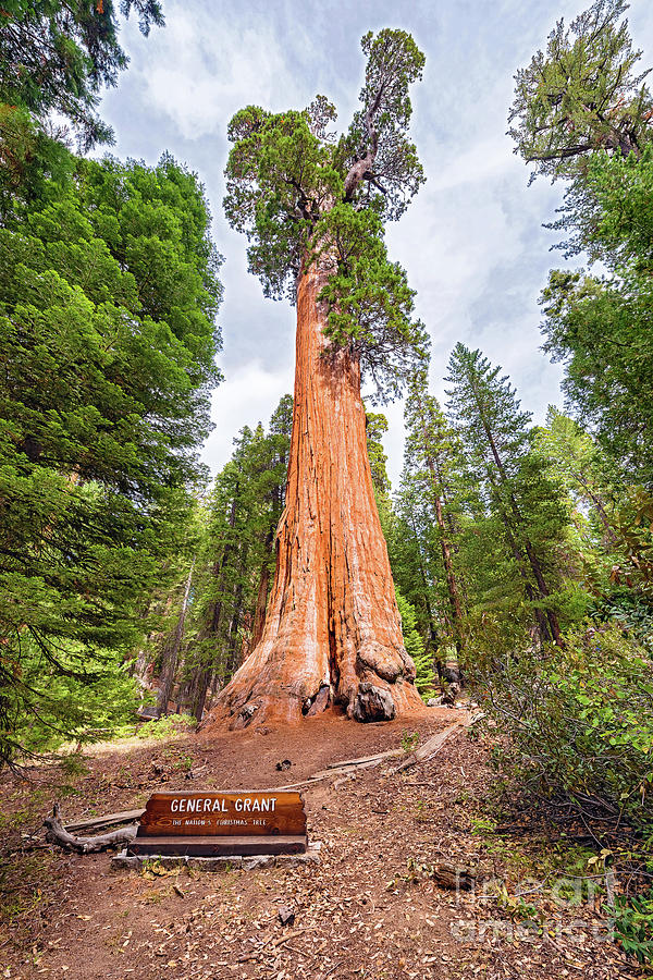 General Grant Sequoia Tree, Kings Canyon National Park  by Marek Poplawski