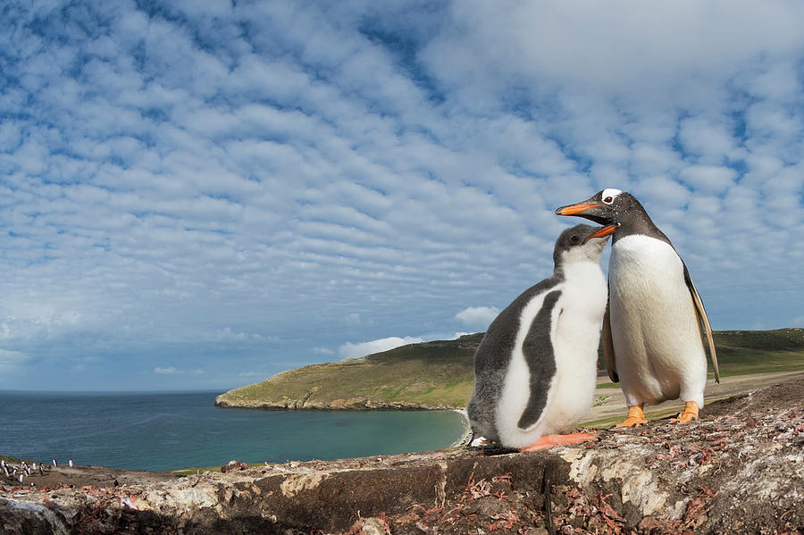 Gento Penguin And Chick On Coast Photograph by Tui De Roy