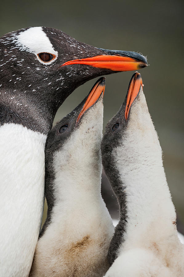 Gentoo Penguin And Begging Chicks Photograph by Tui De Roy