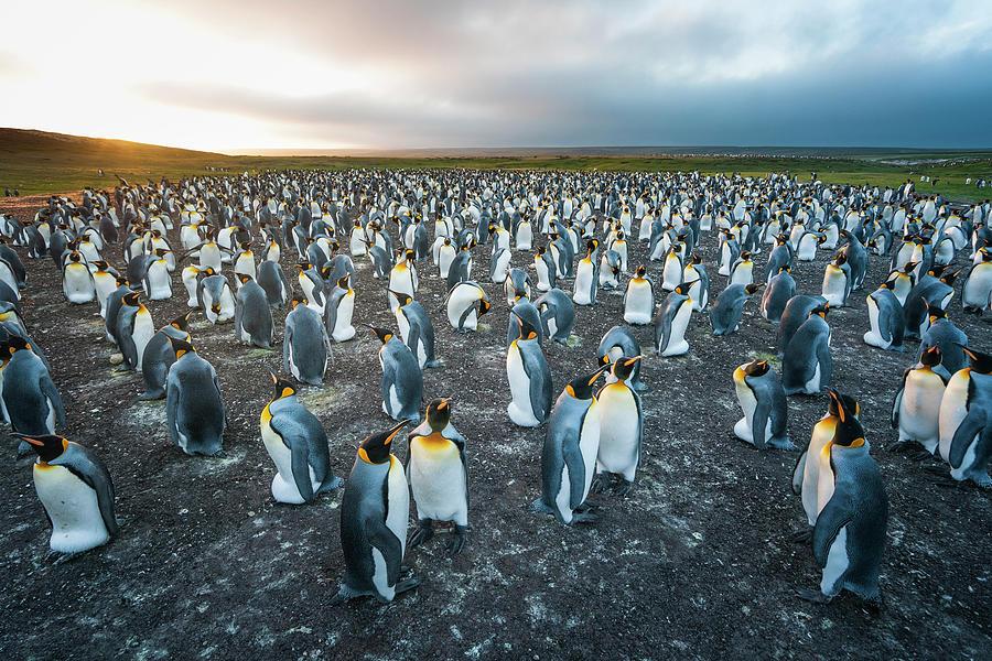 Gentoo Penguin Colony, Falklands Photograph by Tui De Roy