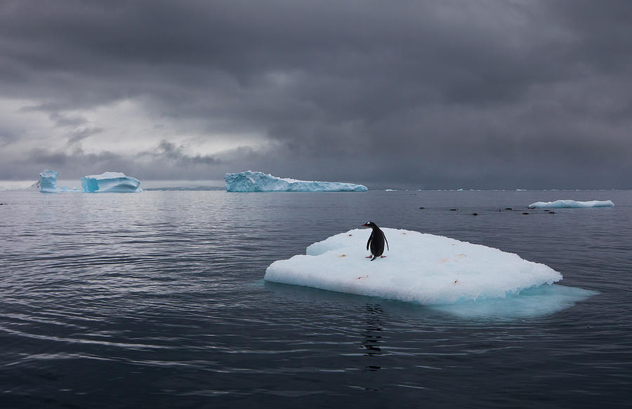 Gentoo Penguin On An Iceberg, Antarctica Photograph by Mint Images - Art Wolfe