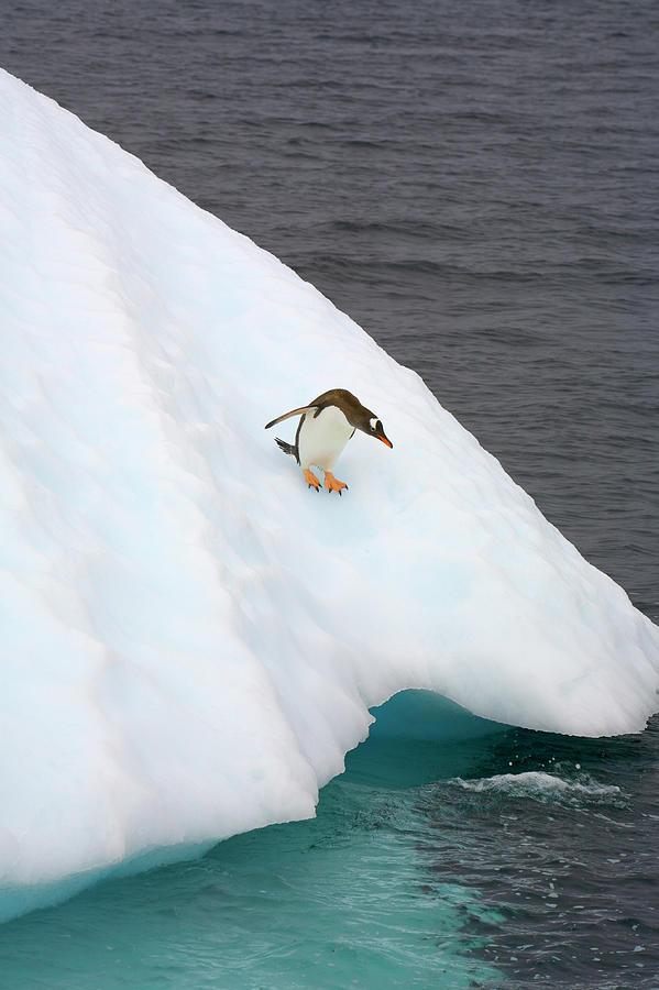 Gentoo Penguin On Iceberg, Antarctic Photograph by Eastcott Momatiuk