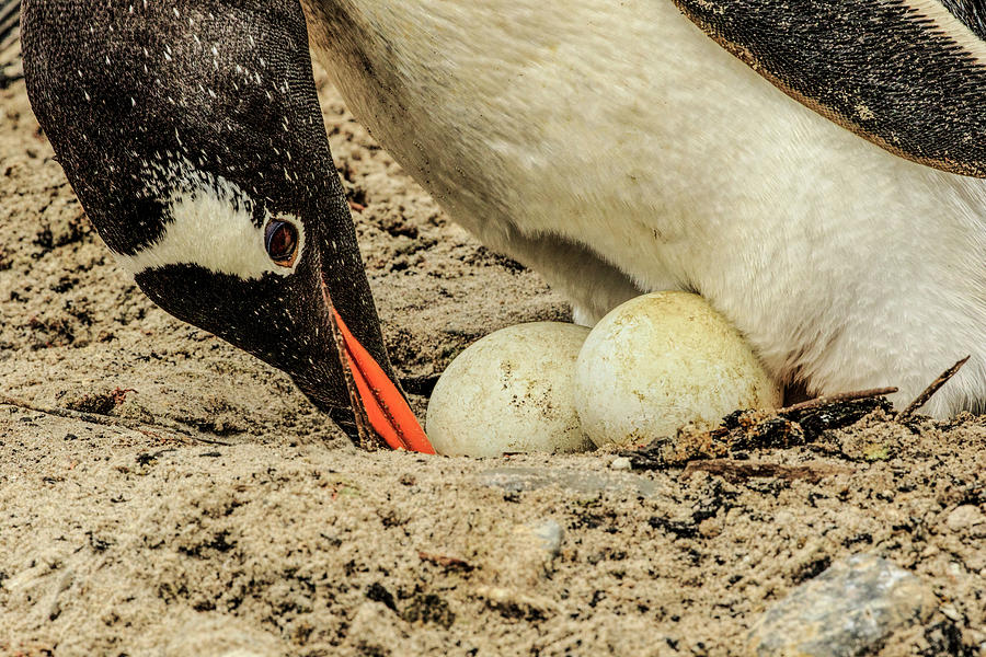 Adam Jones Photograph - Gentoo Penguin On Nest With Egg by Adam Jones