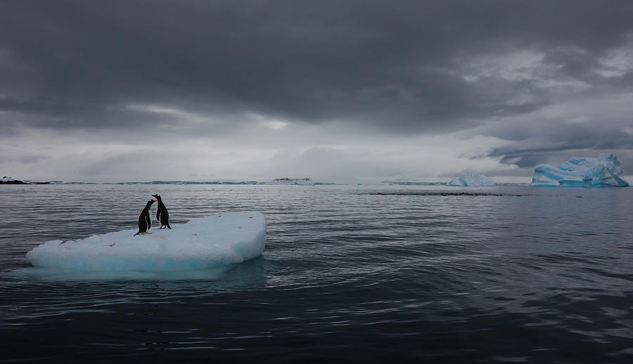 Gentoo Penguins On An Iceberg Photograph by Mint Images - Art Wolfe