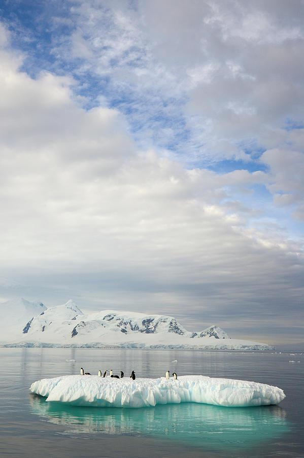 Gentoo Penguins On Ice Floe, Antarctic Photograph by Eastcott Momatiuk