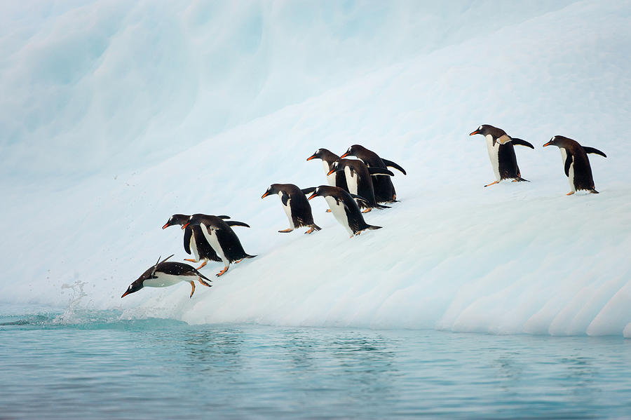 Gentoo Penguins On Iceberg, Antarctic Photograph by Eastcott Momatiuk