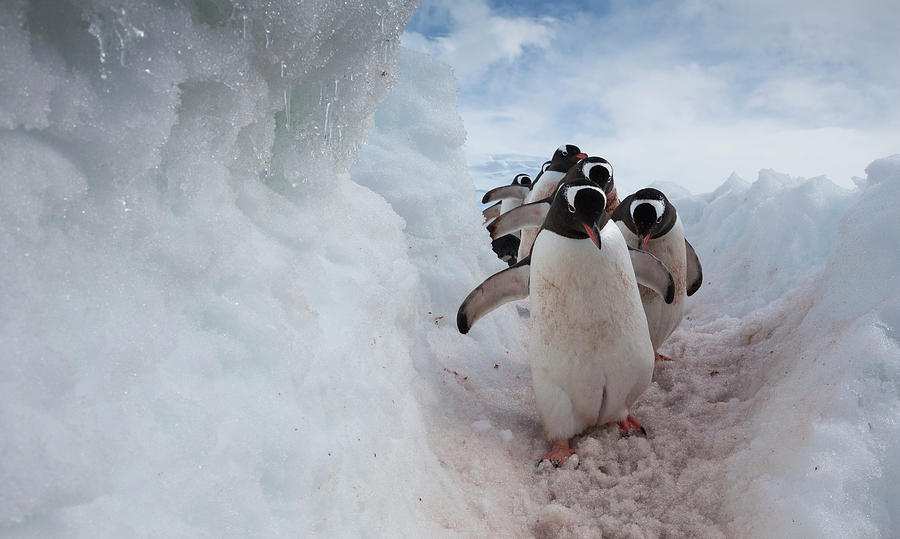 Gentoo Penguins Using A Well Worn Photograph by Mint Images - Art Wolfe