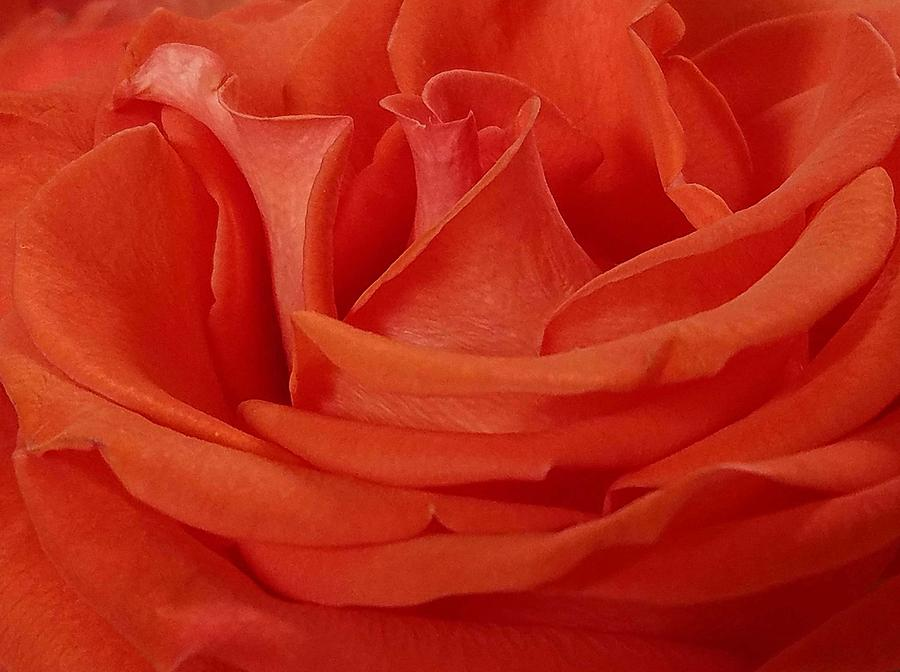 Georgia's Rose by Suzy Piatt