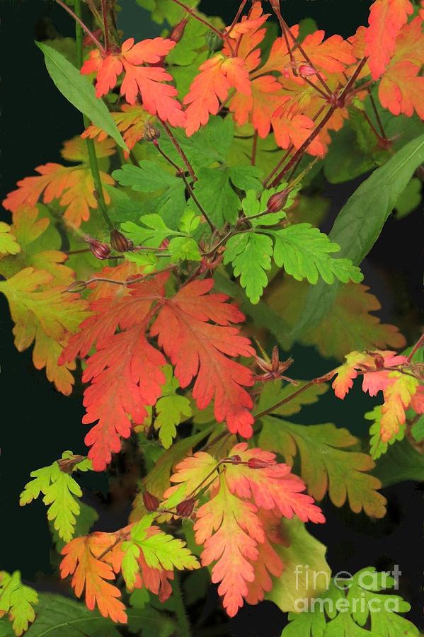 Geranium leaves by Frank Townsley