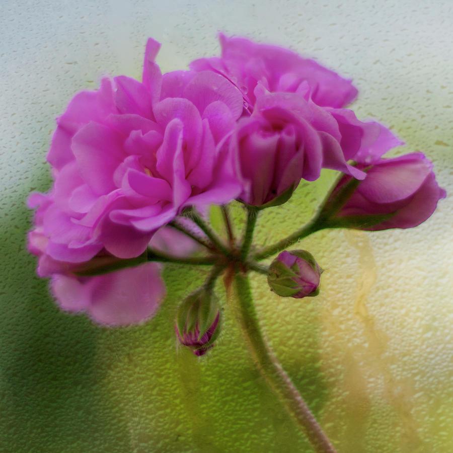 Geranium Rain  by Diane Fifield