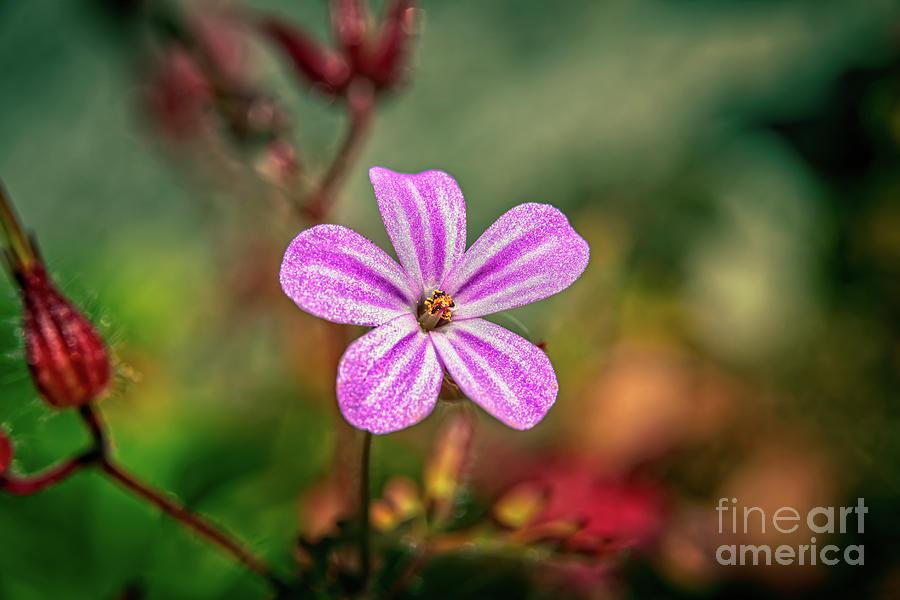 Geranium Robertianum by Adrian Evans