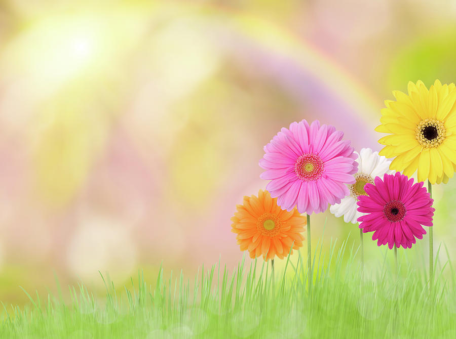 Gerbera Daisies In A Field With Rainbow Photograph by Liliboas