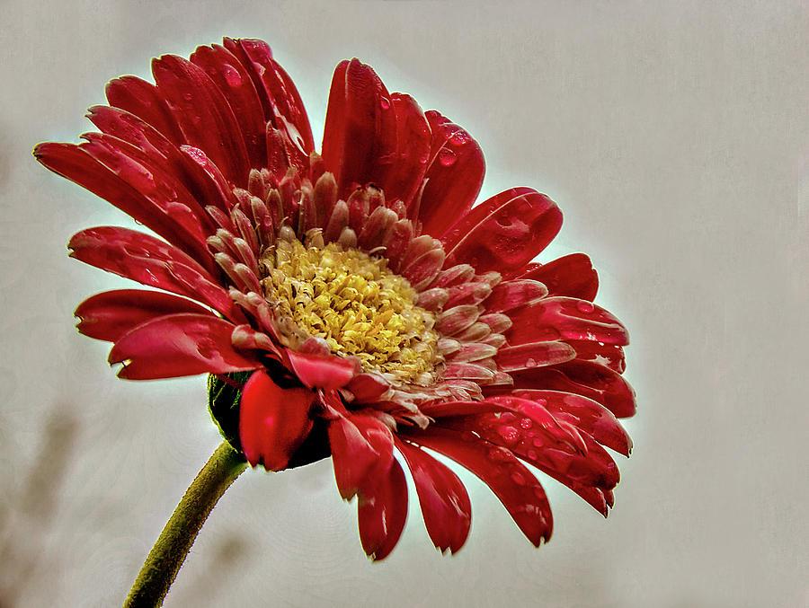 Gerbera Daisy in the rain by Stephen Riella