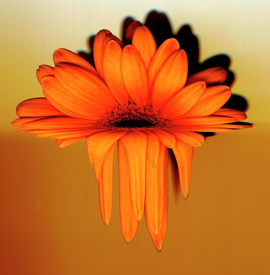 Gerbera Flower Melting, Digital Digital Art by Eversofine