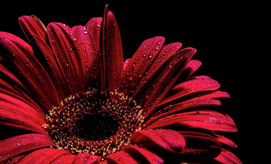 Gerbera Flower by Stephen Riella