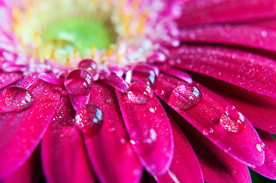 Gerbera Rain Droplets Photograph by Michelle Mcmahon