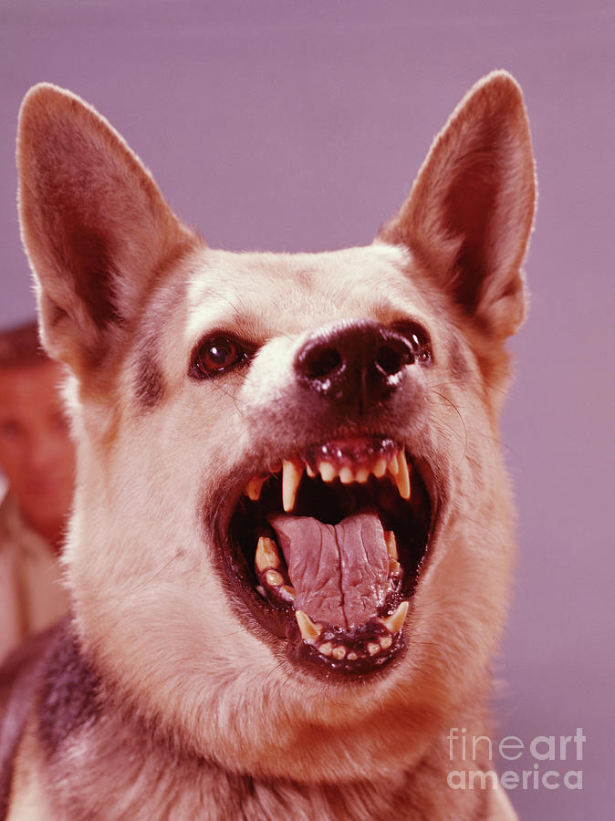 German Shepherd Dog Snarling Photograph by H. Armstrong Roberts