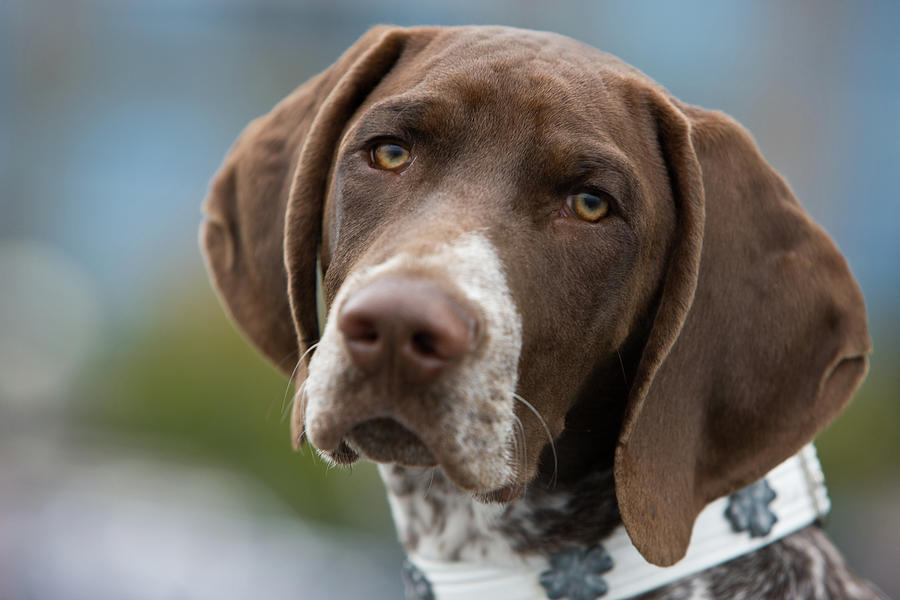 German Shorthair Pointer With Building Photograph by Markhatfield