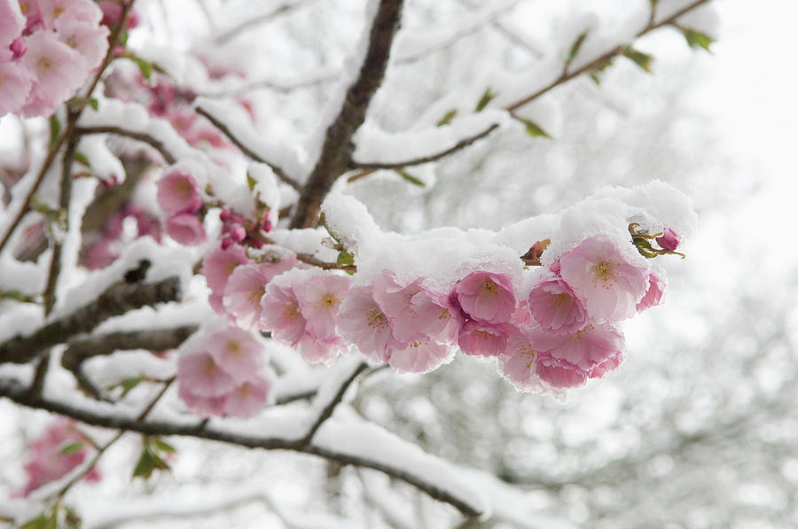 Germany, Munich, Snow Covered Cherry Photograph by Westend61