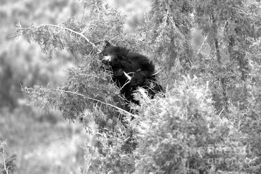 Getting High In The Junipers Black And White by Adam Jewell