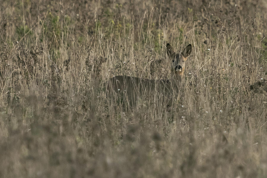 Ghosts in the Grass Roe Deer by Wendy Cooper
