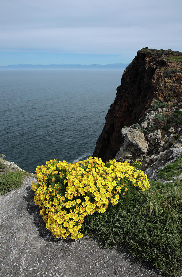 Giant Coreopsis by Robin Street-Morris