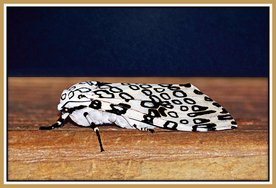 Giant Leopard Moth by Constance Lowery