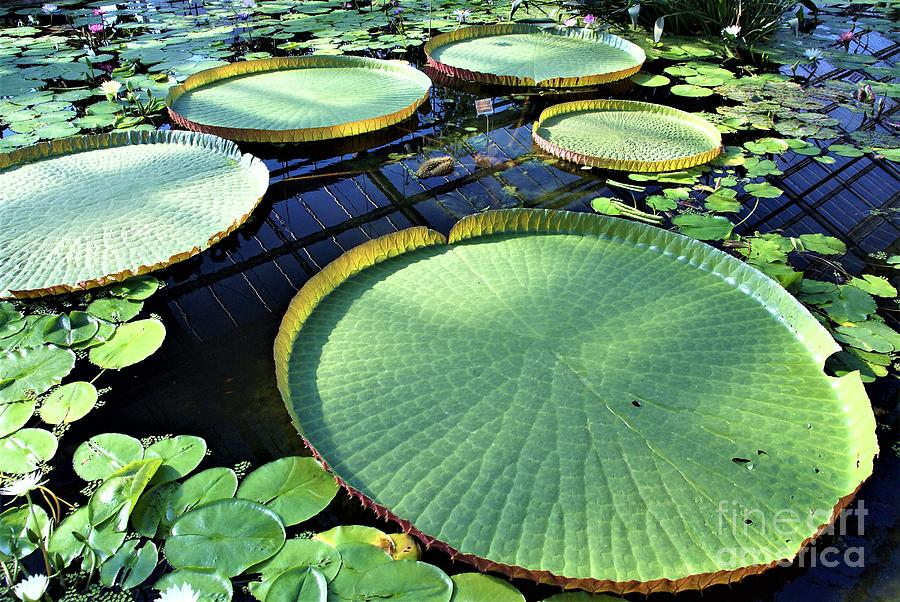 Giant Lily Pads Painting