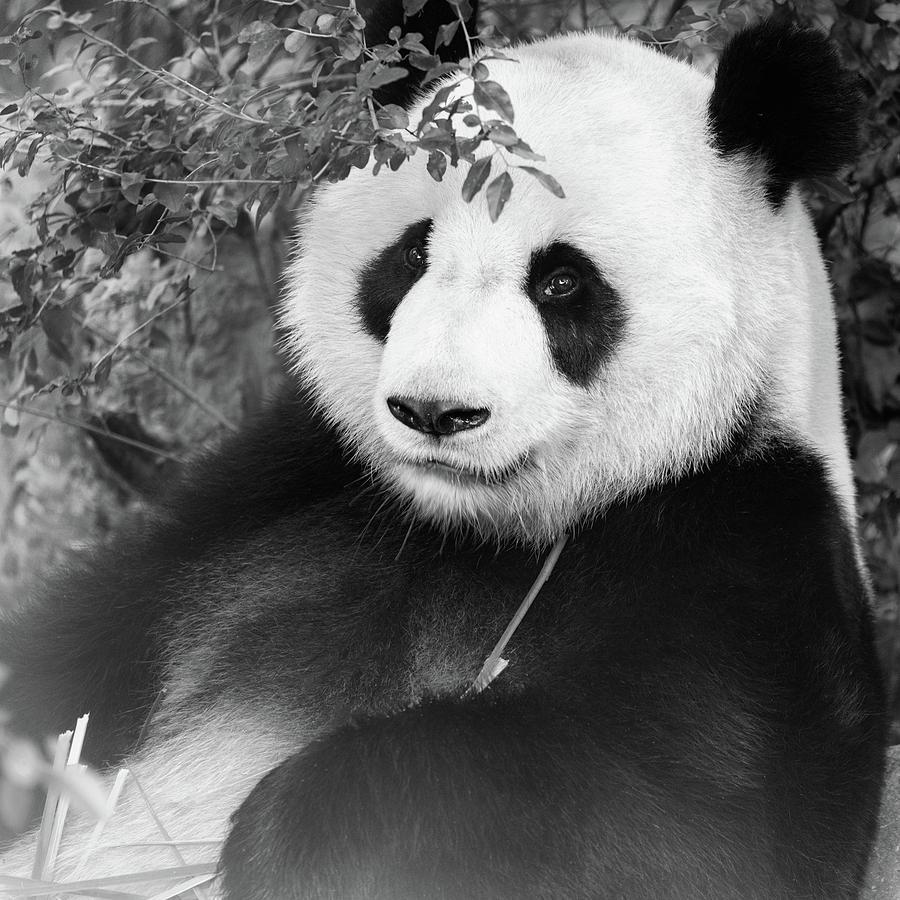 Giant Panda by Erika Valkovicova