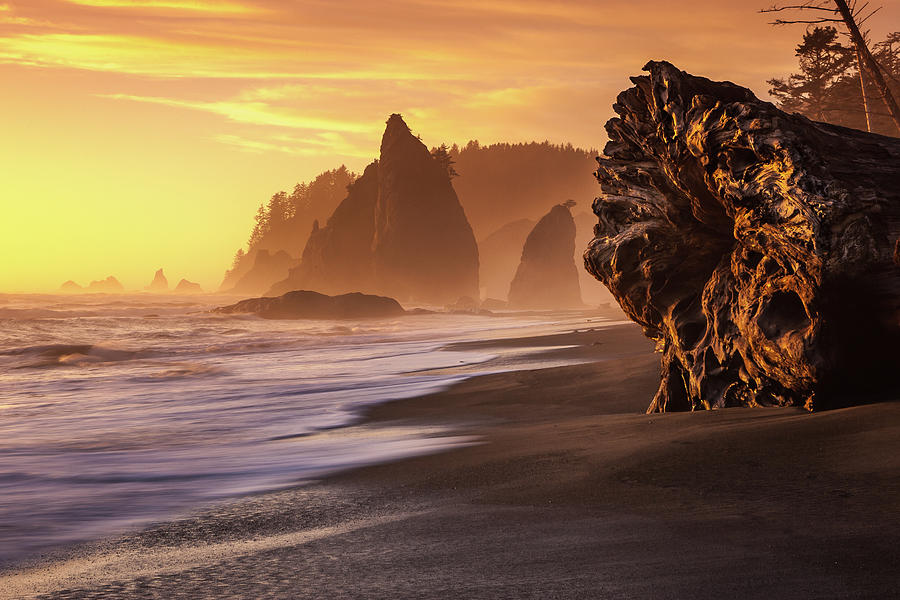 Giant Redwood At Sunset Photograph