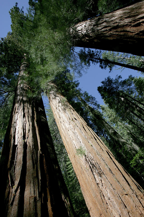 Directly Below Photograph - Giant Sequoia Of Yosemite by Gary Pearl