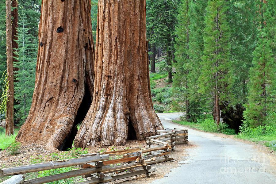 Big Tree Photograph - Giant Sequoias, Mariposa Grove Yosemite by Topseller