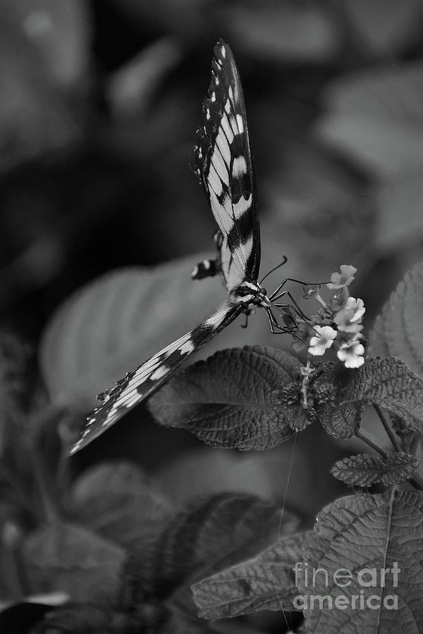 Giant Swallowtail B And W Photograph