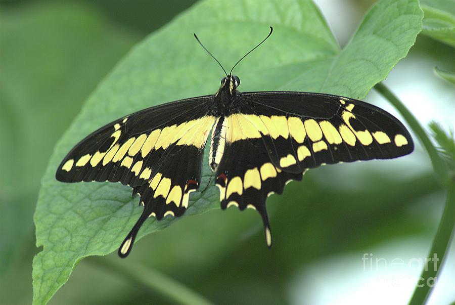 Giant Swallowtail Butterfly by Steve Edwards