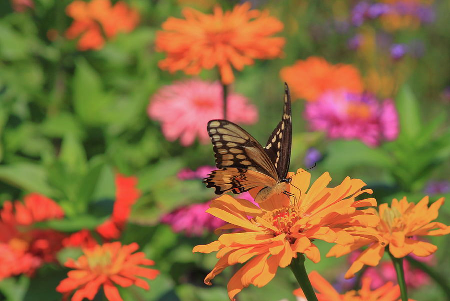 Giant Swallowtail in Pollinator Garden by John Burk