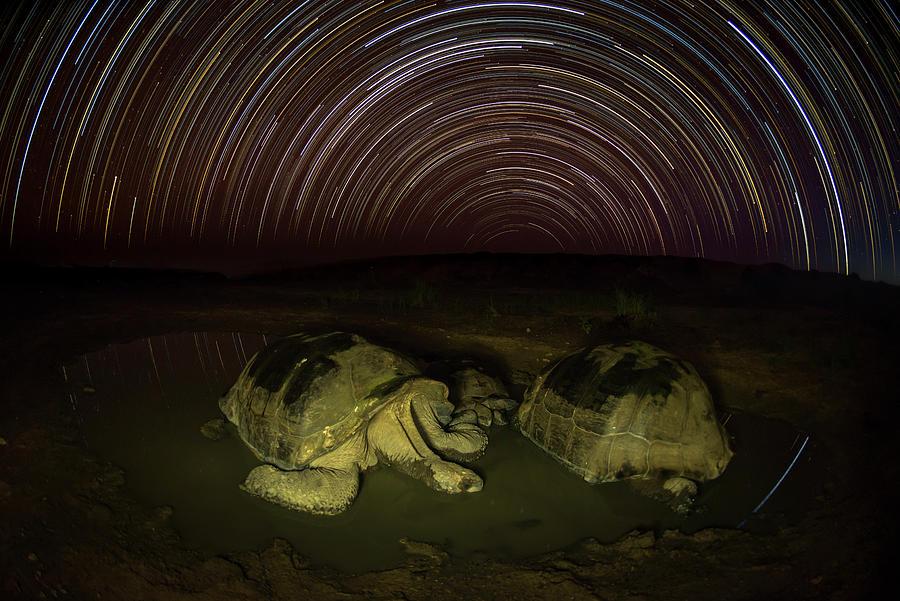 Giant Tortoises Wallow Under Star Trails Photograph by Tui De Roy