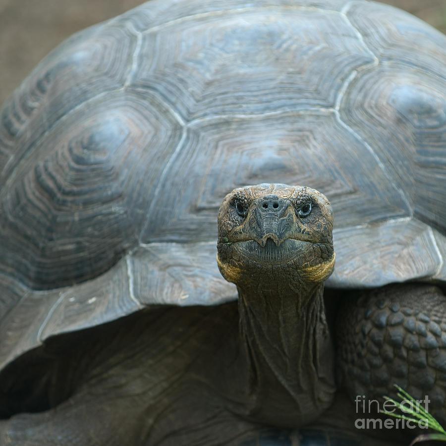 Tortoises Photograph - Giant Turtle, Galapagos Islands, Ecuador by Javarman