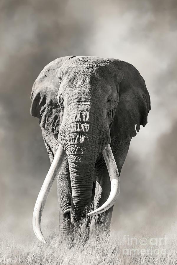 Giant tusked bull elephant in Amboseli, Kenya by Jane Rix