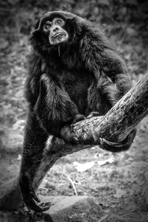 Gibbon by Chris Boulton
