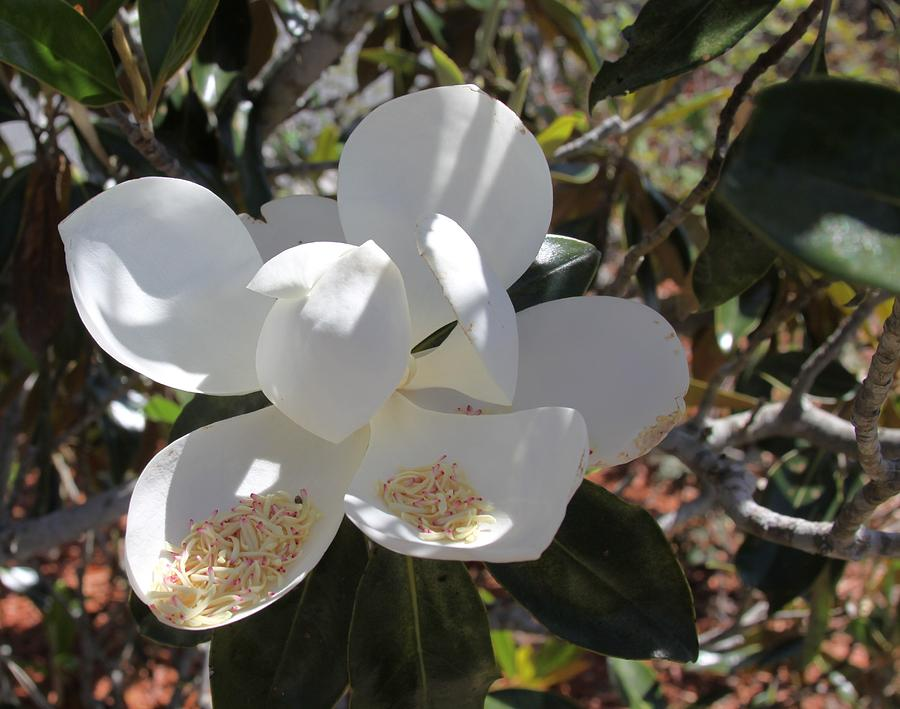 Gigantic White Magnolia Blossoms Blowing in the Wind by Philip Bracco