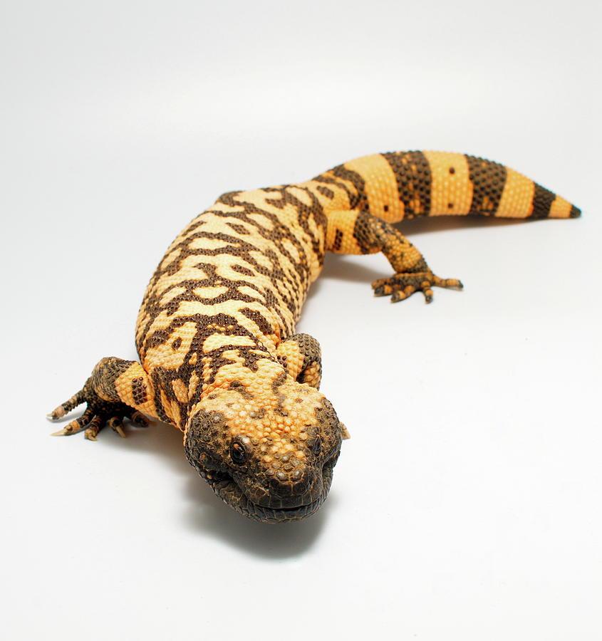 Gila Monster Lizard by Nathan Abbott
