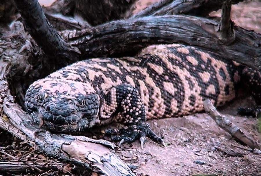 Gila Monster Under Creosote Bush by Judy Kennedy