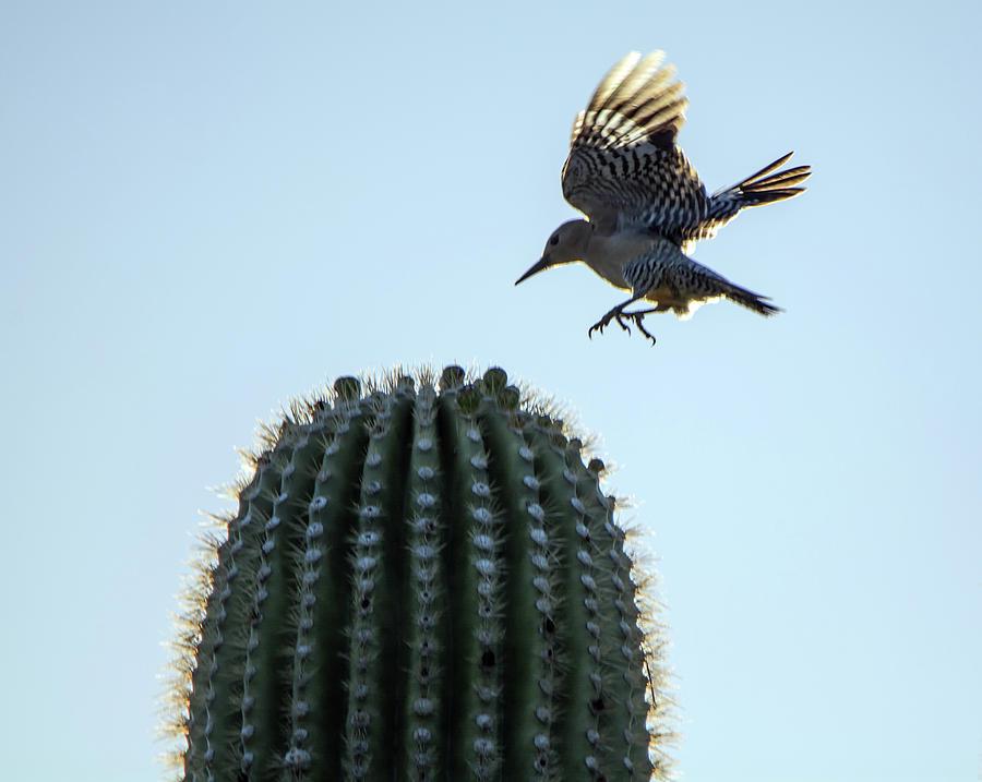 Gila Woodpecker 7919-042419 by Tam Ryan