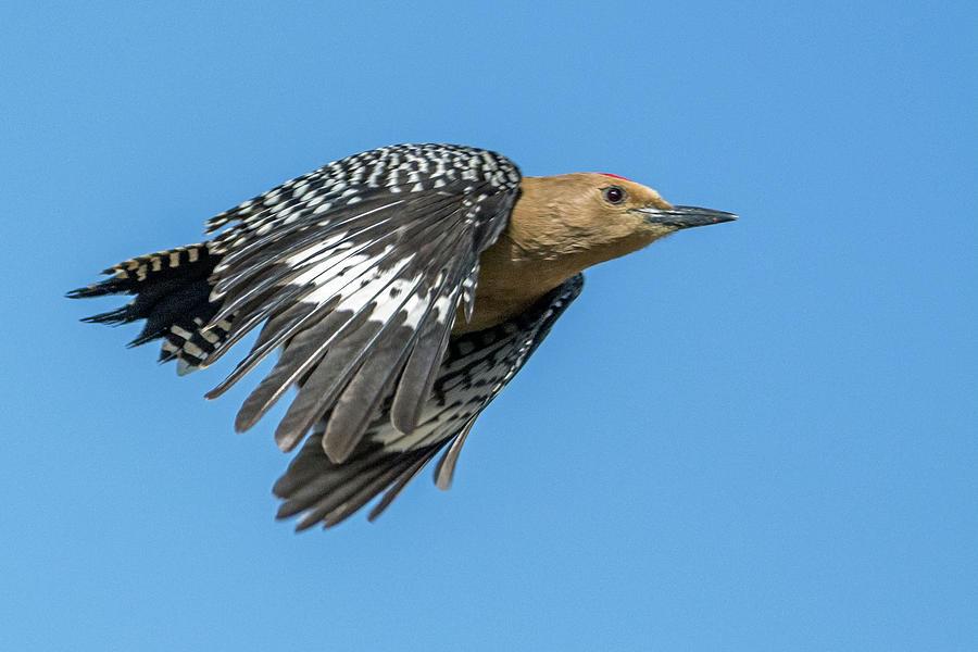 Gila Woodpecker 9596-050319 by Tam Ryan