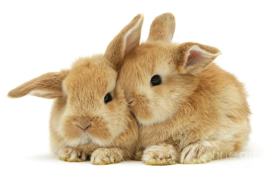 Ginger baby bunnies snuggling by Warren Photographic