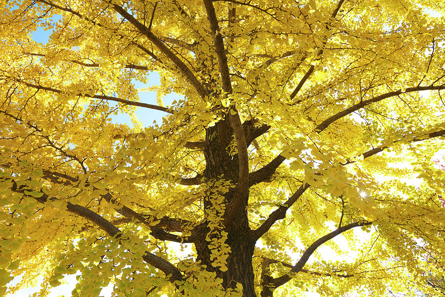Gingko Tree In Autumn, Tokyo Photograph by Wada Tetsuo/a.collectionrf