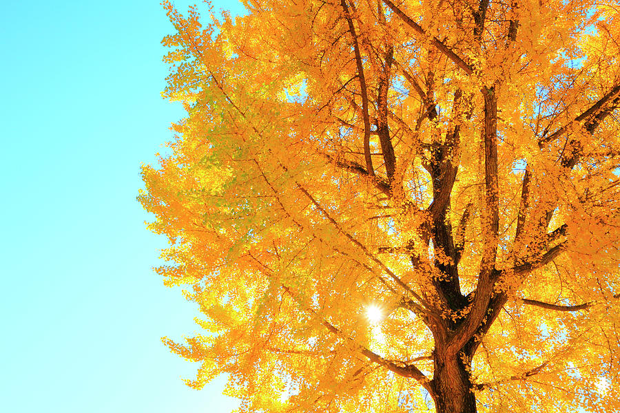 Gingko Tree, Nagano Prefecture, Japan Photograph by Naoki Mutai/a.collectionrf