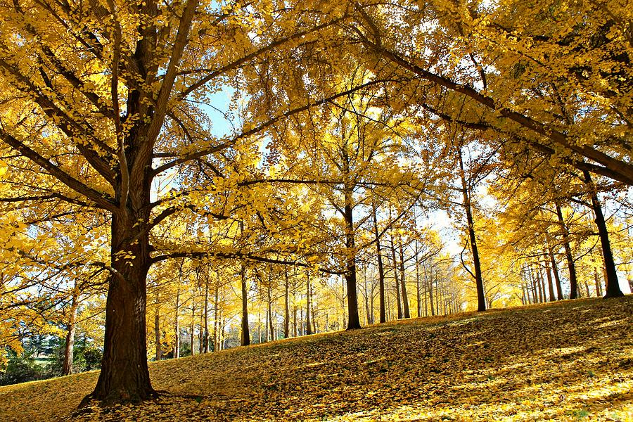 Yellow Photograph - Ginkgo Grove by Candice Trimble